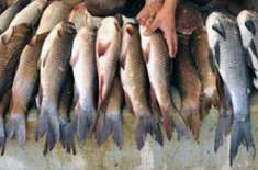 ایبٹ آباد میں بھی باسی اور مضر صحت مچھلی کی فروخت جاری