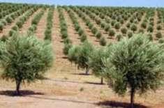 وزارت خوراک و زراعت زیتون کی کاشت کے نام پر اڑھائی ارب ڈکار گئے