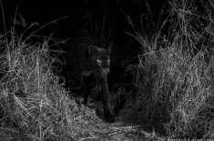 نئی تصویروں سے 110سال بعد افریقا میں سیاہ چیتوں کی موجودگی کی تصدیق ہوگئی