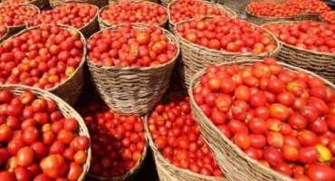 میر پور خاص : لاک ڈاؤن ، ٹماٹر 3 روپے کلو فروخت ہونے لگا