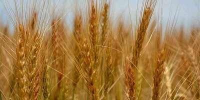 گندم کی فصل ملکی فوڈ سیکیورٹی میں کلیدی کردار کی حامل ہے'صوبائی وزیر ..