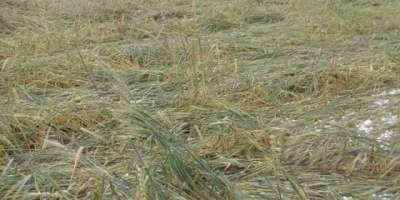 پنجاب:بارشوں سے پونے 7لاکھ ایکڑ پر کاشت فصلیں متاثر ہونے کا انکشاف