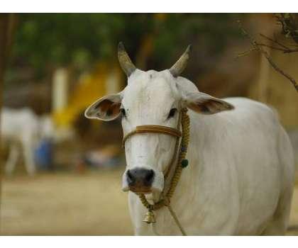 وشوا ہندو پریشدبھارت بھر میں گائورکشہ کمیٹیاں قائم کریگی