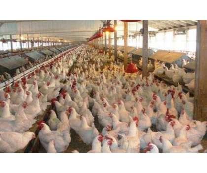 لاہور: برائیلر مرغی کے گوشت کی قیمت میں مزید اضافہ