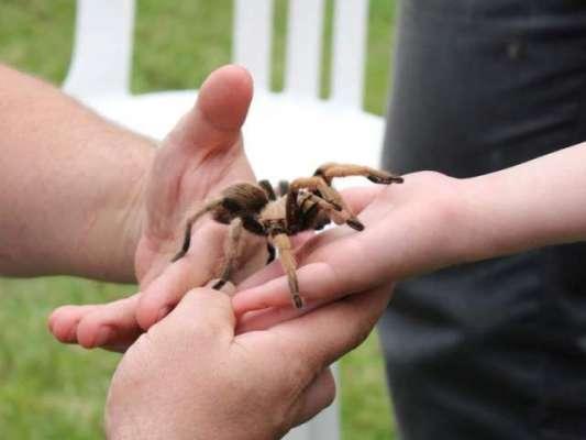 مکڑیوں سے خوفزدہ ساس کو دور رکھنے کے لیے نوجوان نے زہریلی مکڑی پال لی