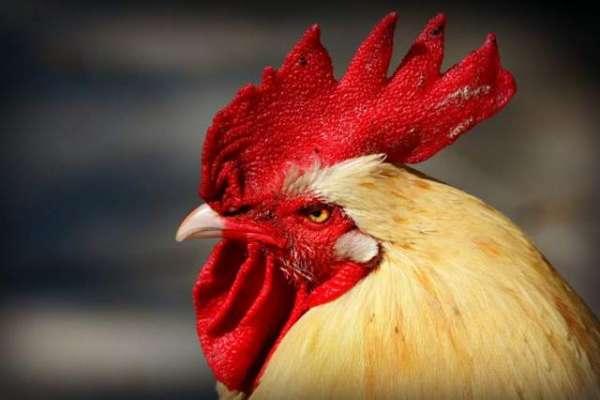 مرغ کی وجہ سے ہمسایوں کے درمیان قانونی جنگ چھڑ گئی