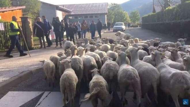 کلاس کو بند ہونے سے بچانے کےلیے سکول نے بھیڑوں کا داخلہ دےدیا