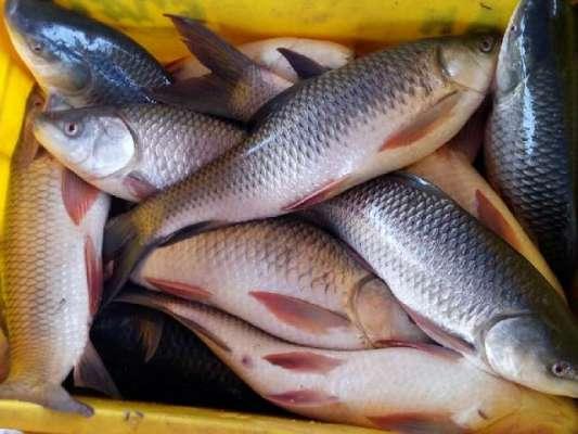 رہو، سنگھاڑی ، سول مچھلی سمیت دیگر اقسام کی قیمتوں میں 200 سے 300روپے فی ..