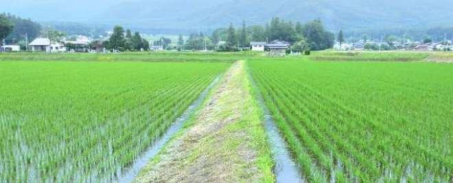 جاپان میں چاولوں کی کٹائی کی رسم منانے کی روایتی تقریب کا انعقاد
