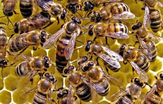 سعودی عرب میں نوجوان شہد کی مکھیوں کے کاٹنے سے جاں بحق