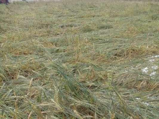 وزیراعلیٰ پنجاب کا حالیہ بارشوں سے فصلوں کو پہنچنے والے نقصانات کا ..