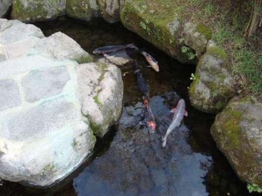 جاپان کا ایسا شہر  جہاں نکاس کی نالیوں میں خوبصورت مچھلیاں تیرتی ہیں