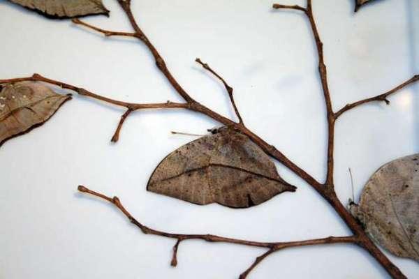 یہ مردہ پتے حقیقت میں زندہ تتلیاں ہیں