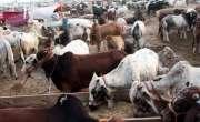 فیصل آباد میں ہر سال 50 جانور قربان کرکے غریبوں میں بانٹنے والا خاندان