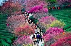 چین کے شہر گیانگ میں چیری بلاسم کے ہزاروں درخت پھولوں سے بھر گئے،