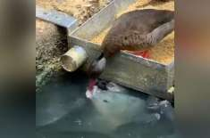Duck 'Feeds' Grain To Fish In Viral Video With 15 Million Views