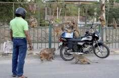 بھارت میں بندروں کا لیب ٹیکنیشن پر حملہ، کورونا زدہ مریضوں کے خون کے ..