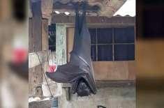 انسانی جسامت کی چمگاڈر کی وائرل  تصویر کی حقیقت