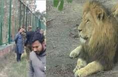 سفاری پارک لاہور میں شیروں کا شکار ہونے والے نوجوان کا ذہنی توازن درست ..
