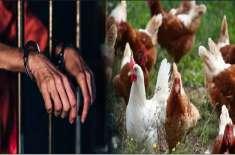 برطانیہ میں مرغیوں سے جنسی زیادتی، بیوی نے شوہر کو جیل کی ہوا کھلا دی