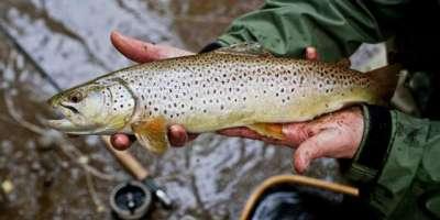 ملک کے شمالی علاقہ جات میں ٹرائوٹ مچھلی کی افزائش کیلئے 182.018ملین روپے ..