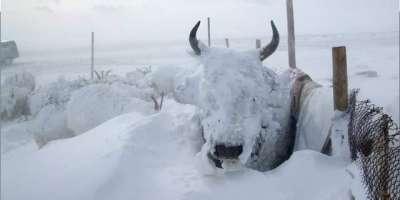 برف باری کے باعث 3,625 مویشی مر گئے