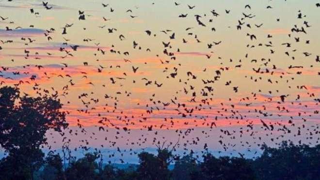 آسٹریلیا کے ٹاؤن پر چمگاڈروں کا قبضہ