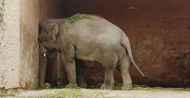 کاون ہاتھی کی کمبوڈیا منتقلی، بھارت نے طیارے کو اپنی فضائی حدود سے ..