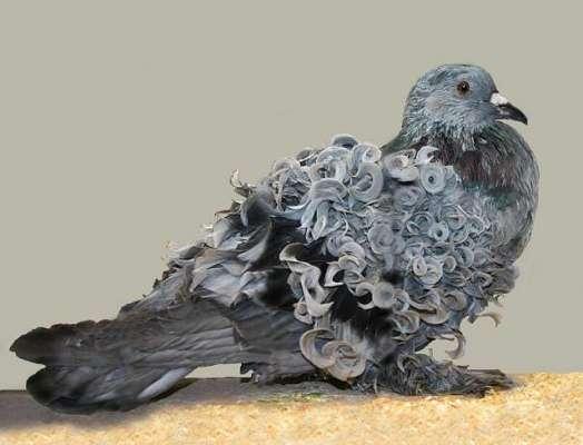 جھالر والے کبوتروں کی اس نسل کی پشت پر قدرتی گھنگھریالے پر ہوتے ہیں