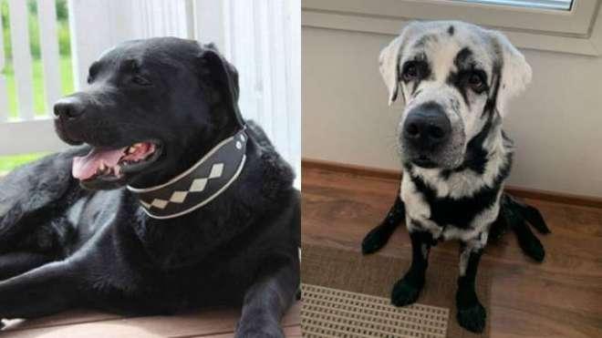 ملیے بلیز سے۔ برص کے مرض میں مبتلا یہ کتا انٹرنیٹ پر  راتوں رات مقبول ..