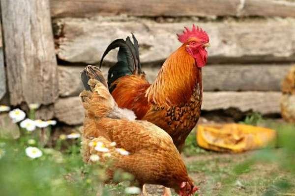 سوئیڈن کے شہر میں حکام نے  تقریبات روکنے کے لیے پارک میں مرغیوں کا فضلہ ..