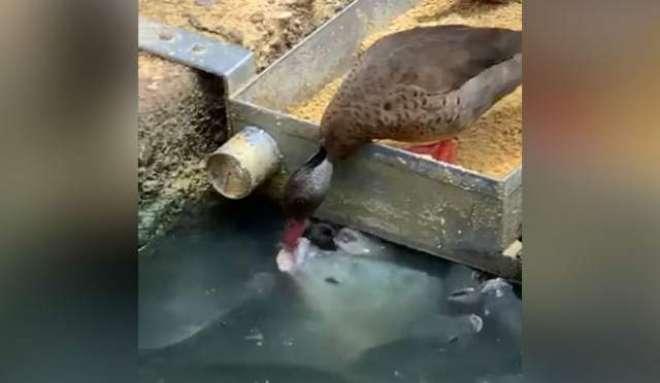 بطخ کی مچھلیوں کو خوراک کھلانے کی دلچسپ وائرل ویڈیو