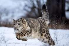 برفانی چیتے کی 70فیصد رہائش گا ھیں غیر دریافت شدہ ہیں ڈبلیو ڈبلیو ایف