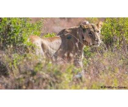 شیر کی صبح خیزی، لوگوں کی دوڑیں لگ گئیں