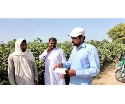 سیکرٹری زراعت جنوبی پنجاب ثاقب علی عطیل کی ہدایت پر کپاس کی دیکھ بھال ..