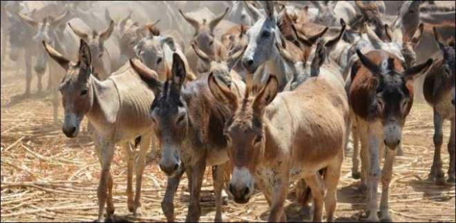 پاکستان میں گدھوں کی تعداد میں تیزی سے اضافہ