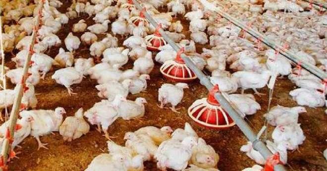 مسابقتی کمیشن نے مرغی کی قیمت میں اضافے کا پتا لگا لیا