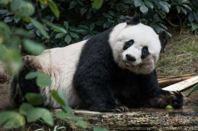 nayaab jungli janwar Panda ka sab se bara ghar
