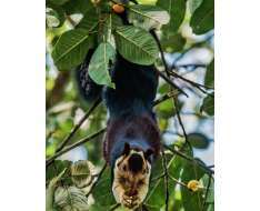 the indian giant squirrel photographed by visit the facebook page and witness the wonder of nature captured by some truly gifting eyes and hearts.