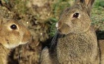24 Rabbits sey Australia ko Khatra