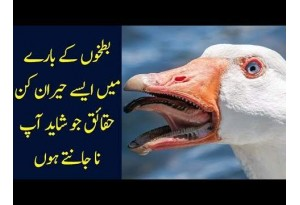 Find Out Interesting Facts About Ducks