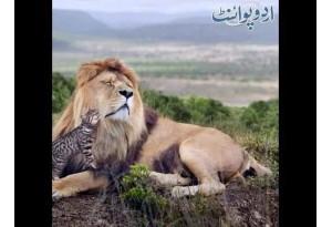 Kids Urdu Story: Billi Sher Ki Khala; Darya K Kinare Jungle Main Ek Sher Hukmarani Karta Tha...