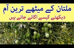 Mango Gardens In Multan | World's Most Delicious Mango Cultivation Process