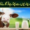 Qad Barhana Aur Bimariyon Se Bachna Hai Tu Cow Ka Doodh Piyen