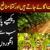 Grapes Garden In Dipalpur | How To Grow Amazing Different Kinds Of Grapes?