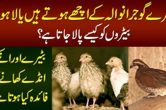 Lahori VS Gujranwala Batair | How To Start Quail Farming? | Quail Egg Benefits