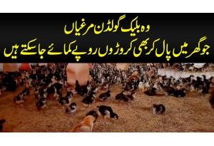 Wo Black Golden Murghiyan Jo Ghar Me Paal Kar Bhi Croron Rupaye Kamaye Ja Sakte Hain