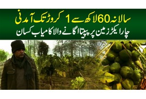 Salana 60 Lakh Se 1 Crore Tak Income - 4 Acre Zameen Per Papita Ugane Wala Kamiyab Kisan