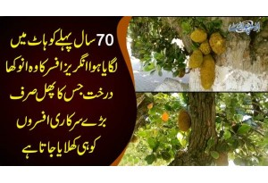 The Only Kathal Tree In Pakistan | Jackfruit Tree In Kohat | Watch How The Tree Is Protected