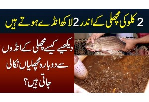 2kg Ki Fish Se 2 Lakh Eggs - Kaise Eggs Se Dubara Fish Nikali Jate Hain | Fish Hatching In Pakistan
